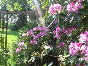 rhondondendron3 au domaine des camelias