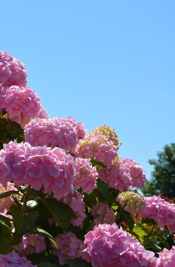 Hortensia blog - Au Domaine des Camélias